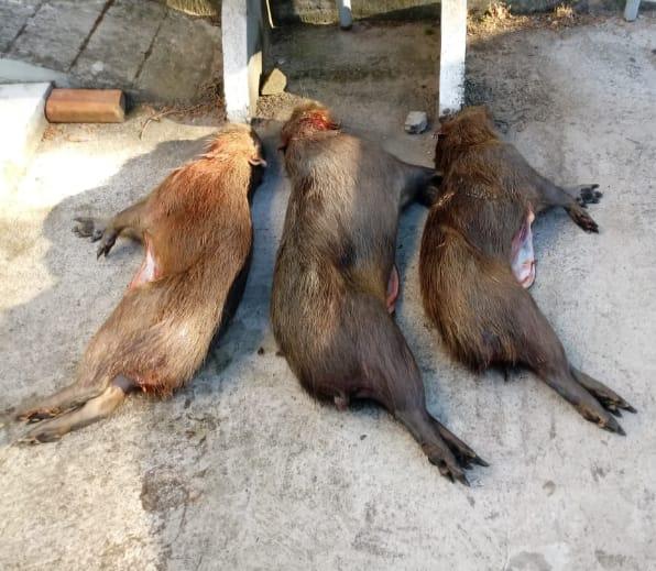 Além das armas foram apreendidos três capivaras produtos de caça
